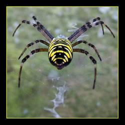 spider by Wiedzma13