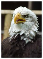 Bald eagle by Wiedzma13