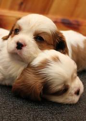 Sleepy Puppies by Lambieb123