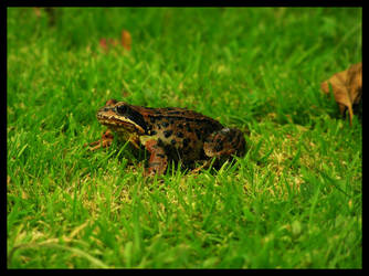 Toad by Hemmer