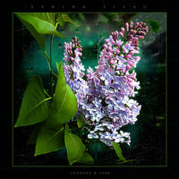 Spring Lilac by inObrAS