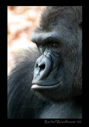 Gorilla II by tigeress66