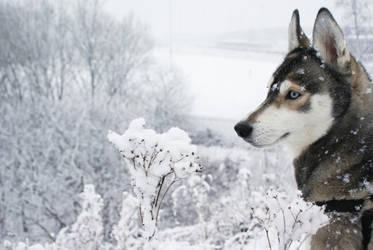 Snow Dog by dizzeeboy