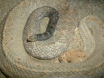 Sand Snake - Rattler by Cynthetic