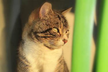 Kot z Gronowa by DoooM