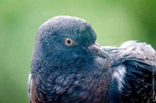 Pigeon by Teaminds