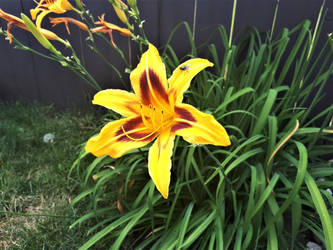 Bright Yellow lilly by manders123