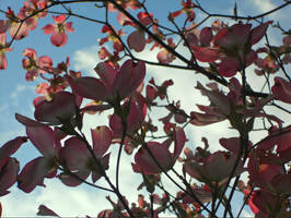 Dogwood Blossoms by Penguino170
