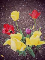 Tulips by Penguino170