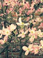 More Pink Dogwood by Penguino170