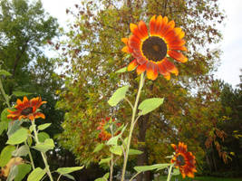 Autumn Sunflowers by PTPenguino