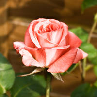 Rose by J1StarStock