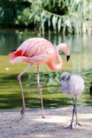 Flamingo (C) by Bo-Wildlife