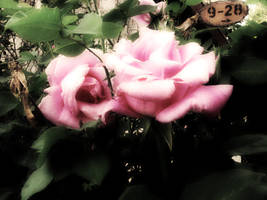 roses by Ashii