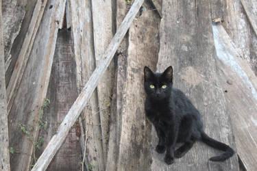 Black cat by ssfialho