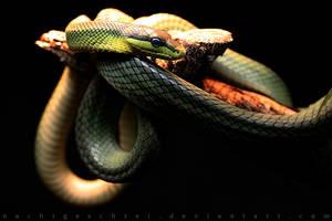 Snake. by nachtgeschrei