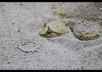 Horned Viper. by nachtgeschrei