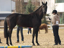 Finnish warmblood mare by wakedeadman