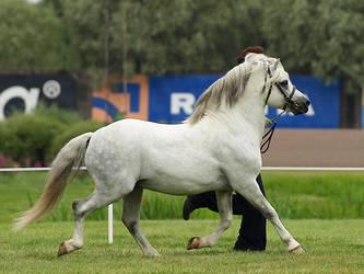 Welsh mountain stallion by wakedeadman