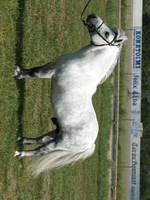 Shetland pony stallion by wakedeadman