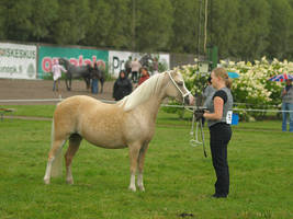 Welsh mountain mare3 by wakedeadman