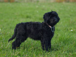 Portuguese water dog by wakedeadman