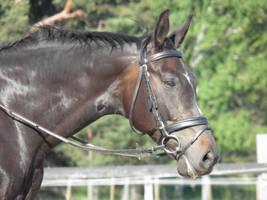 Warmblood mare by wakedeadman