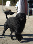 Portuguese water dog male by wakedeadman