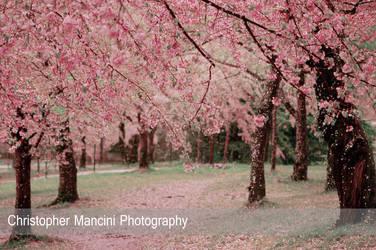 Tidal Basin Blossoms in Rain (3) by DJBIG