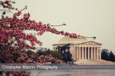 Jefferson Cherry Blossoms by DJBIG