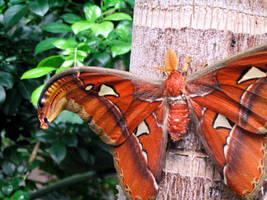 Atlas Moth by Nailkita