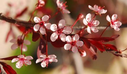 Plum Leaf Sand Cherry by BenoitAubry