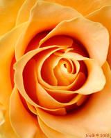 Yellow Rose by JoeGP
