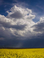Yellow flower field by JoeGP
