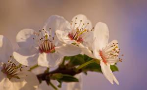 Flowering Tree 2 by JoeGP