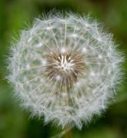 Dandelion Seeds by JoeGP