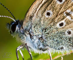 Common Blue Butterfly (really close-up) by JoeGP