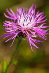Centaurea jacea by JoeGP