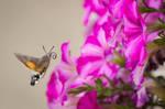 Hummingbird Hawk Moth by JoeGP
