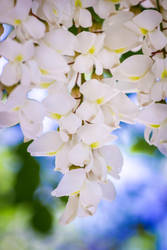 Black Locust by JoeGP
