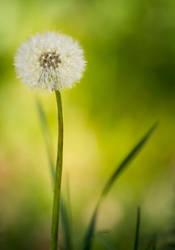 Dandelion by JoeGP