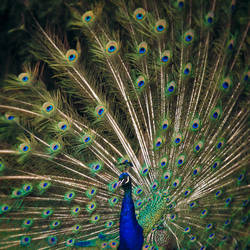 Peacock Plumage by KimJSinclair