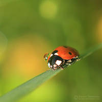Ladybug with a droplet by Juchise