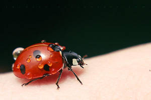Ladybird again by Juchise
