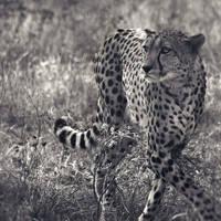 Cheetah by Juchise