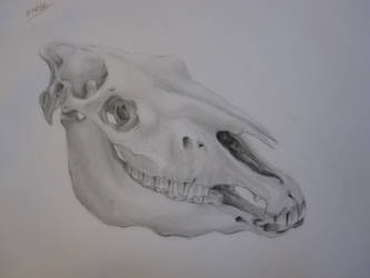 Horse's skull by cheynester