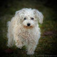 Posing Poodle by La-Vita-a-Bella