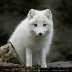 Artic Fox by La-Vita-a-Bella