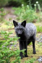 Silver Phase Red Fox by La-Vita-a-Bella