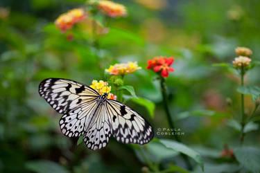 Butterfly - White Tree Nymph by La-Vita-a-Bella